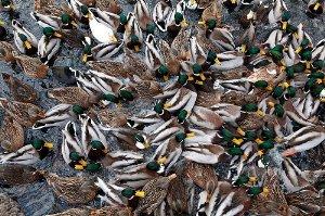 Los patos hacen ruido